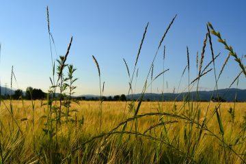 Campo di grano Rieti